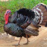 Recipe: Vegan Turkey & Stuffing